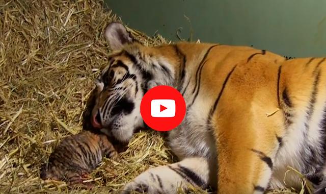 Роды тигрицы снимали на видео, но вдруг оператор заметил…