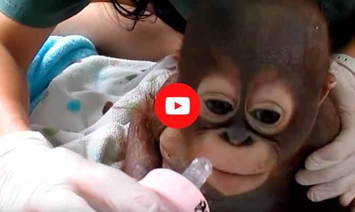Малыш обезьяны был заперт в клетке целый год. Его не выпускали…